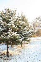 pino d'inverno foto