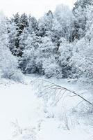 alberi d'inverno sulla neve foto