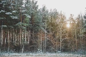 foresta di abeti invernali