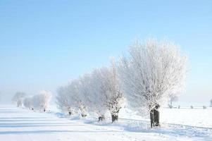 salici in inverno foto