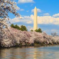 Washington DC Cherry Blossom con il lago e il monumento a Washington.