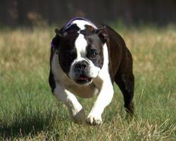 Boston Terrier in esecuzione foto