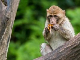 macaco di barbary foto