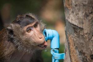 acqua potabile della scimmia dal tubo dell'acqua foto