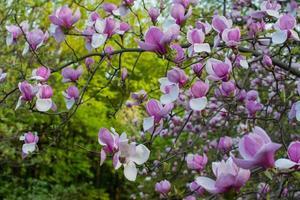 Magnolia nel giardino botanico di Kiev foto