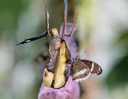 farfalla con banana in giardino