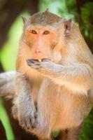 la scimmia mangia. avvicinamento foto