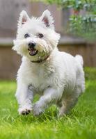 terrier di West Highland bianco sveglio che corre nell'erba foto