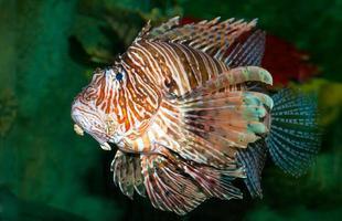 pesce leone che nuota nel mare foto