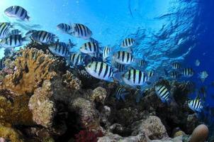 pesce sergente e barriera corallina foto
