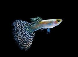nuoto del pesce dell'animale domestico di guppy isolato sul nero foto