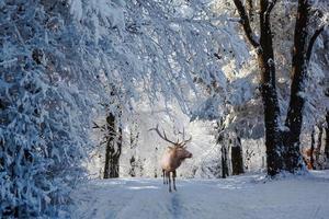 cervo rosso corna è una radura della foresta foto