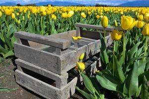 tulipani pronti per il raccolto foto