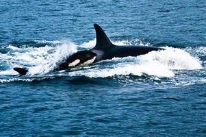 baby orca foto
