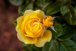 rosa profumata in piena fioritura foto
