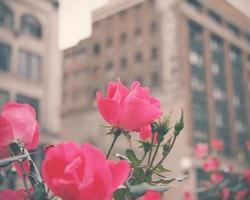 città rosa foto