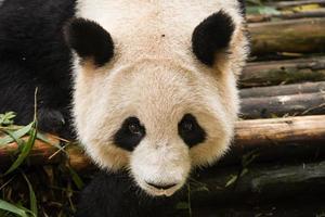 la faccia del panda gigante da vicino foto