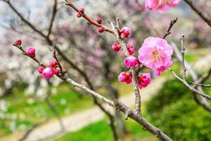 fiore di prugna all'inizio della primavera