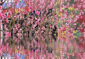 fiori di pesco foto