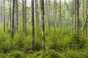 foresta vivente di adirondacks foto