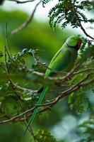 pappagallo verde con anelli di rose foto