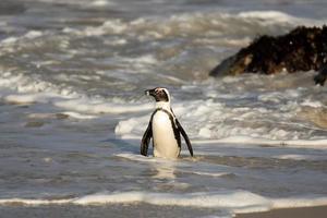 pinguino africano sulla spiaggia foto