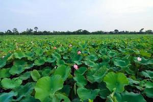 piante di fiori di loto e fiori di loto