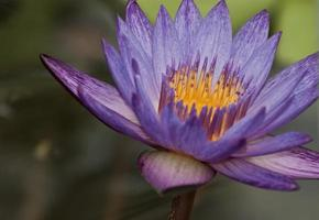 loto viola foto