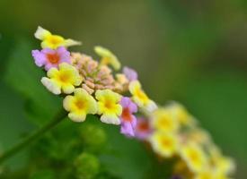 fiori di lantana camara foto