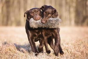 due cani che trasportano insieme un giocattolo da caccia