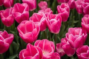 bellissimi tulipani rosa in un giardino verde di Istanbul foto