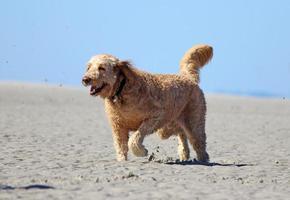 cane felice in esecuzione sulla spiaggia foto