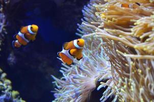 pesce pagliaccio nella barriera corallina foto