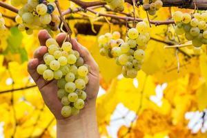 contadino in possesso di uve bianche foto