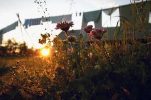 fiori di campo al tramonto foto