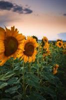 girasole al tramonto foto
