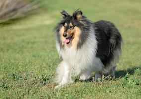cane femmina ruvido collie foto