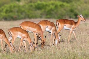 antilopi impala femmina al pascolo foto