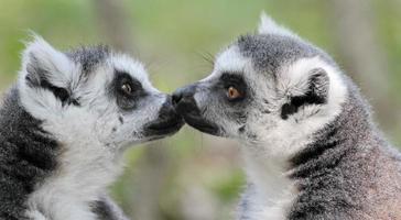 lemure catta (maki) del madagascar foto