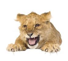 cucciolo di leone (5 mesi)