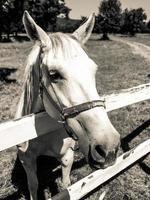 ritratto di stallone lipizzano foto