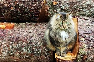 giovane grazioso gatto norvegese della foresta foto
