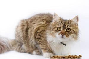 Maine Coon: il gatto mangia foto