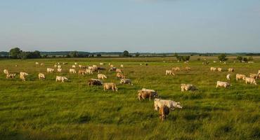 mandria di mucche foto