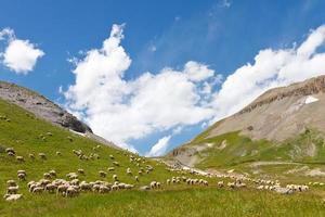 gregge di pecore al pascolo sul prato di montagna foto