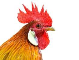 galletto (gallo) isolato su sfondo bianco foto