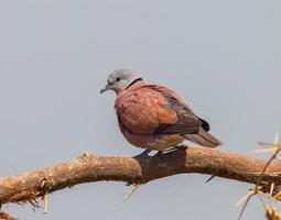 stretta di maschio colomba dal collare rosso foto