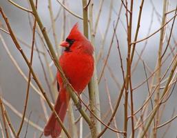 cardinale foto