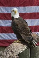 aquila calva appollaiata davanti alla bandiera americana