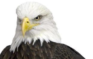 American Bald Eagle isolato su uno sfondo bianco.
